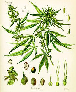256px-Cannabis_sativa_(Köhler)