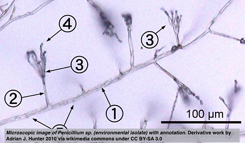 Microscopic image of Penicillium sp. (environmental isolate) with annotation. Derivative work by Adrian J. Hunter 2010 via wikimedia commons under CC BY-SA 3.0
